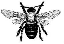 Carpentee Bee
